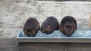 Three beavers eating